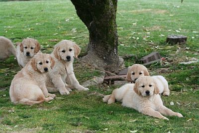 Southern Golden Retriever Club Buying A Puppy